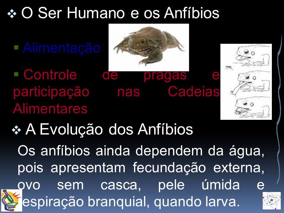 O Ser Humano e os Anfíbios Alimentação Controle de pragas e participação nas Cadeias Alimentares A Evolução dos Anfíbios Os anfíbios ainda dependem da