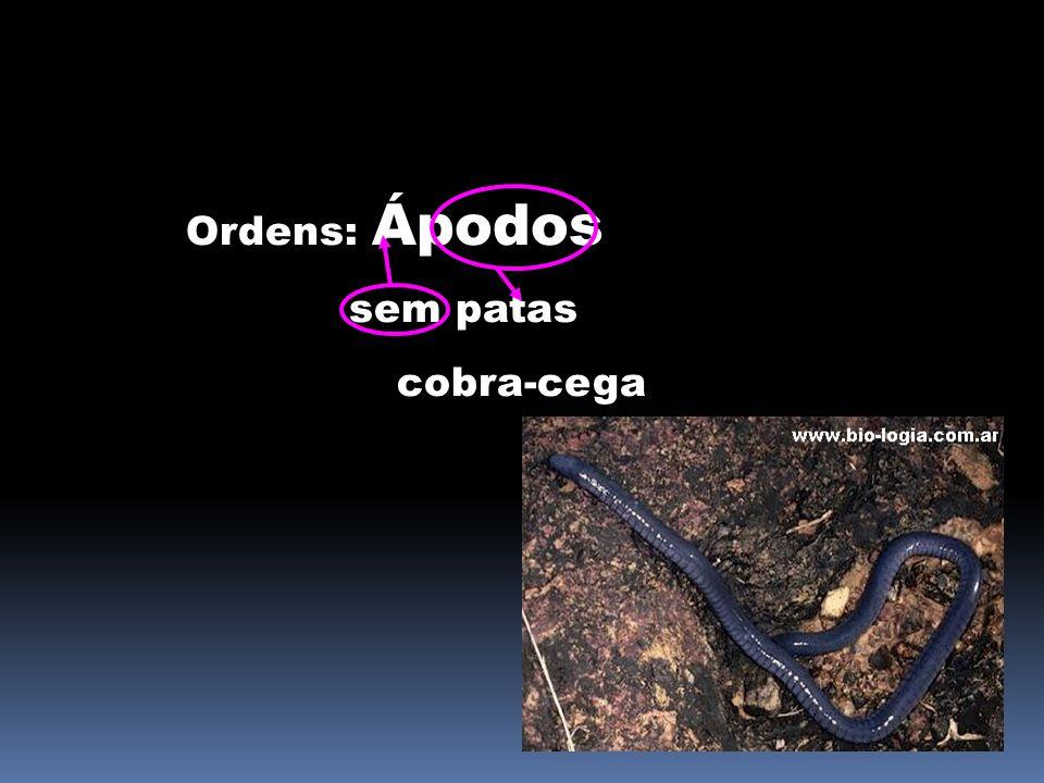 SISTEMA RESPIRATÓRIO Presença de brânquias na fase larval; Presença de cordas vocais.