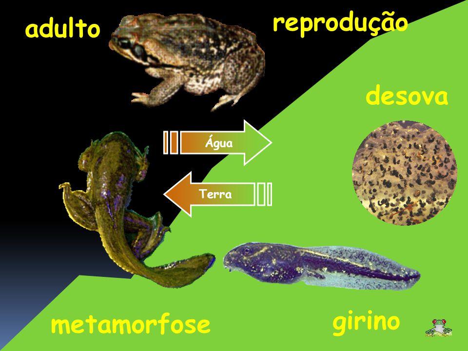 adulto girino reprodução metamorfose Água Terra desova