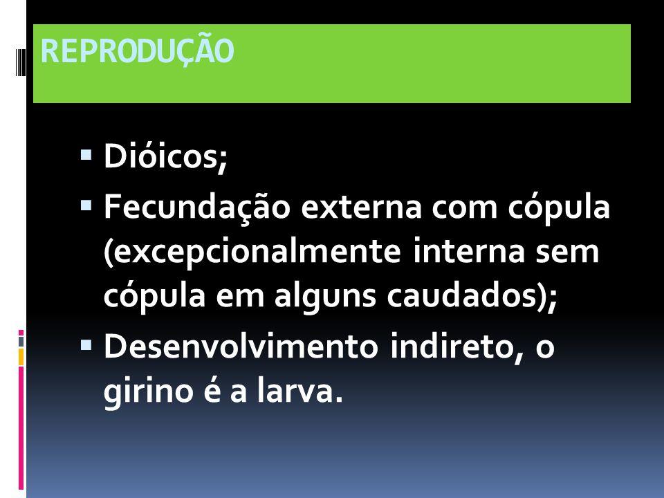 REPRODUÇÃO Dióicos; Fecundação externa com cópula (excepcionalmente interna sem cópula em alguns caudados); Desenvolvimento indireto, o girino é a lar