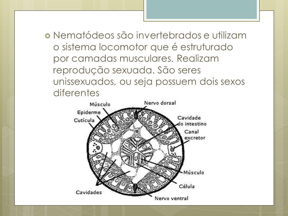 Nematódeos são invertebrados e utilizam o sistema locomotor que é estruturado por camadas musculares. Realizam reprodução sexuada. São seres unissexua