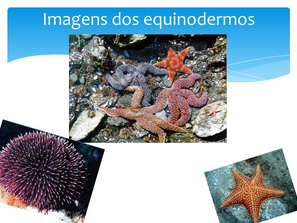 Imagens dos equinodermos