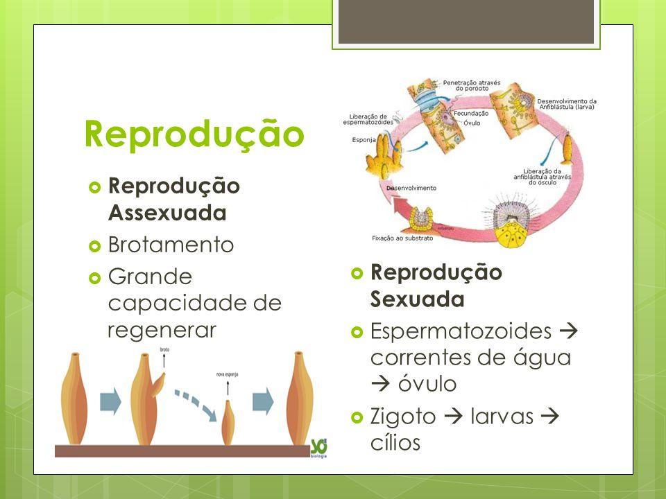 Reprodução Reprodução Assexuada Brotamento Grande capacidade de regenerar Reprodução Sexuada Espermatozoides correntes de água óvulo Zigoto larvas cíl