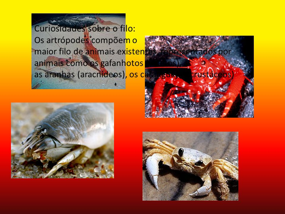 Curiosidades sobre o filo: Os artrópodes compõem o maior filo de animais existentes, representados por animais como os gafanhotos (insetos), as aranha