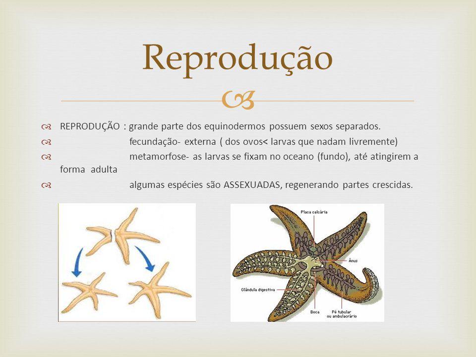 REPRODUÇÃO : grande parte dos equinodermos possuem sexos separados.