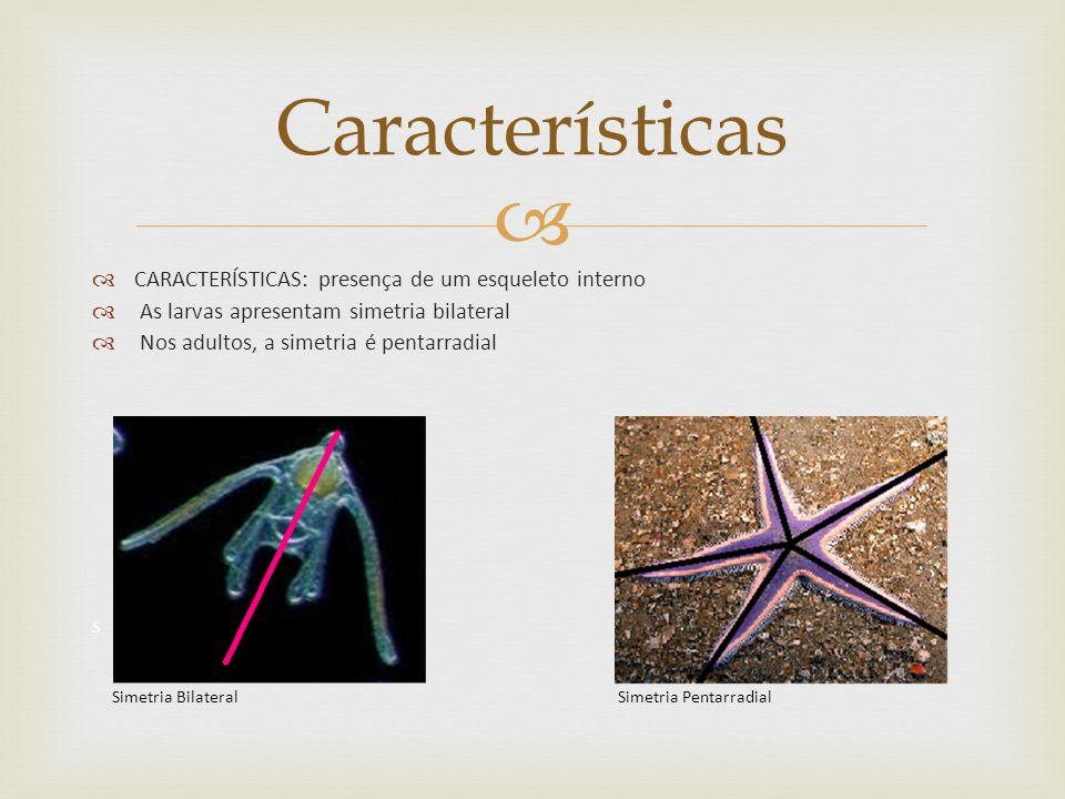 CARACTERÍSTICAS: presença de um esqueleto interno As larvas apresentam simetria bilateral Nos adultos, a simetria é pentarradial S Simetria Bilateral Simetria Pentarradial Características