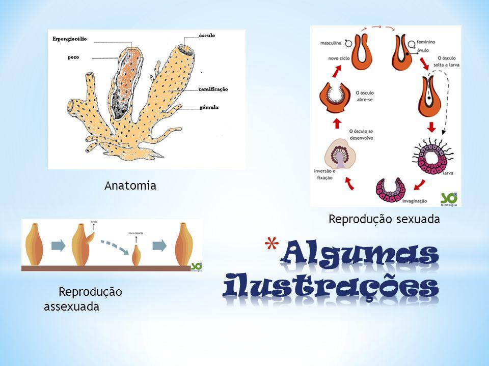 Reprodução assexuada Reprodução sexuada Anatomia