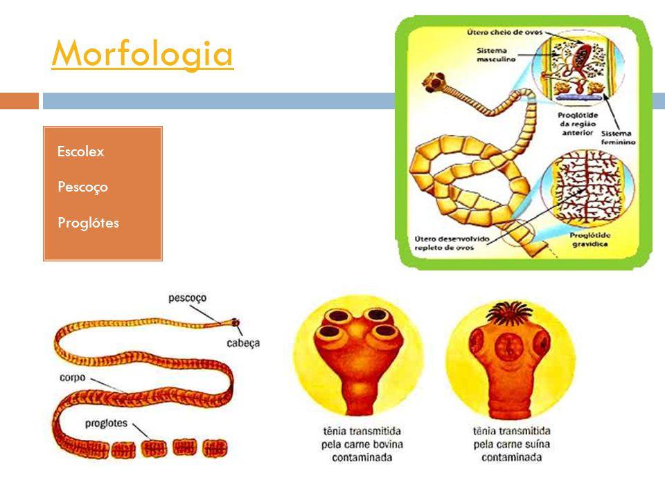 Morfologia Ovo de tênia Proglote grávidaCisticerco