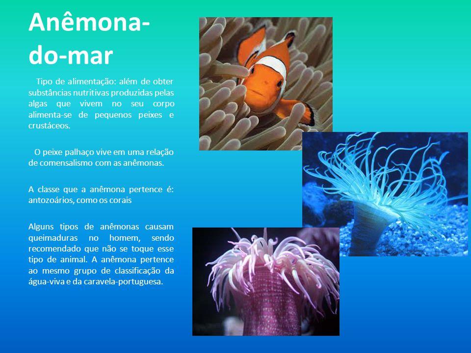 Anêmona- do-mar Tipo de alimentação: além de obter substâncias nutritivas produzidas pelas algas que vivem no seu corpo alimenta-se de pequenos peixes