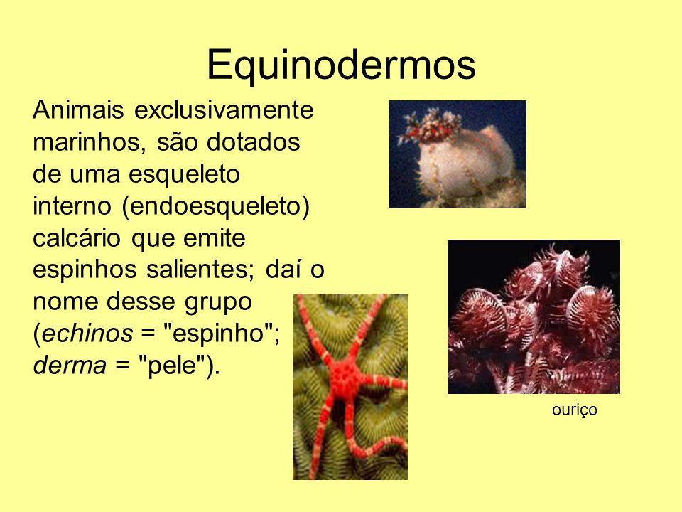 Equinodermos Animais exclusivamente marinhos, são dotados de uma esqueleto interno (endoesqueleto) calcário que emite espinhos salientes; daí o nome d