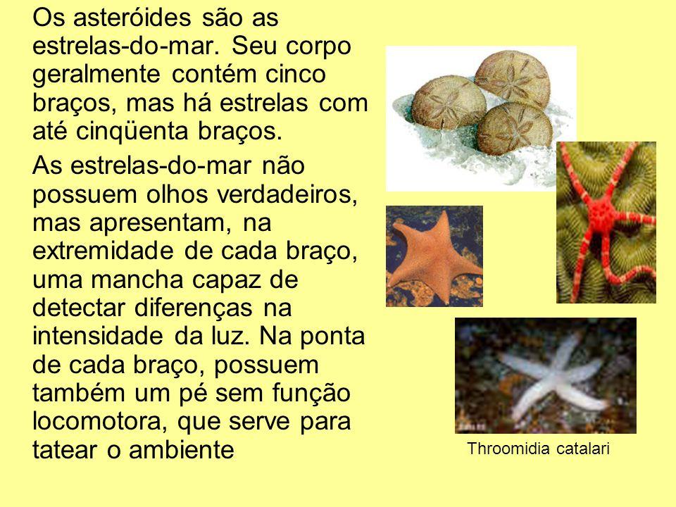 Os asteróides são as estrelas-do-mar. Seu corpo geralmente contém cinco braços, mas há estrelas com até cinqüenta braços. As estrelas-do-mar não possu