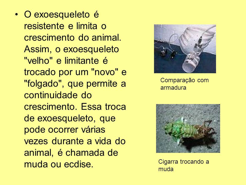 O exoesqueleto é resistente e limita o crescimento do animal. Assim, o exoesqueleto