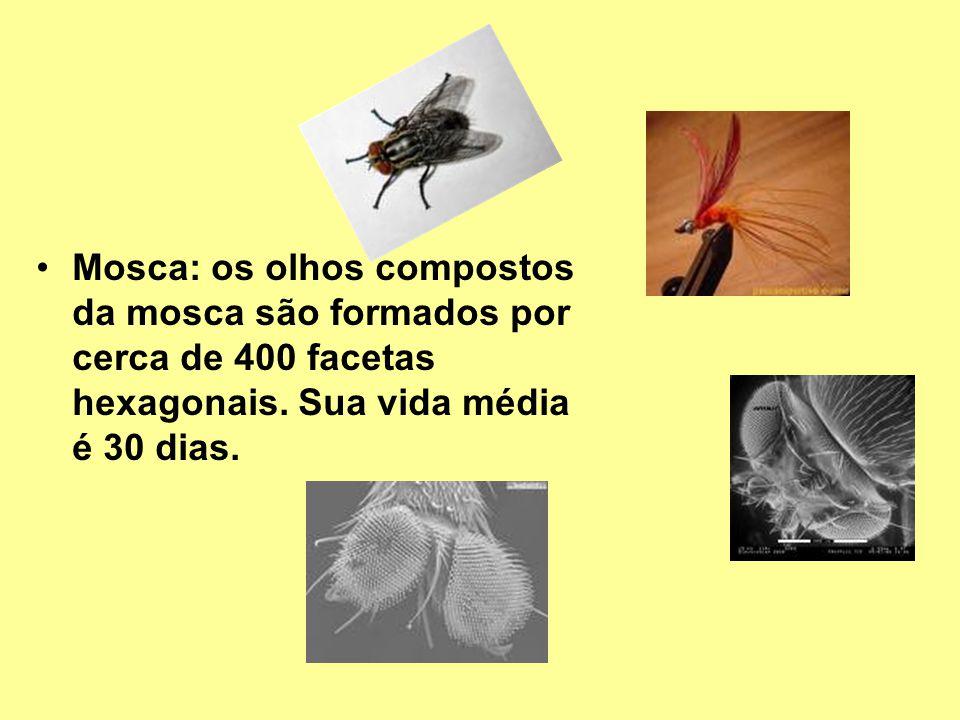 Mosca: os olhos compostos da mosca são formados por cerca de 400 facetas hexagonais. Sua vida média é 30 dias.