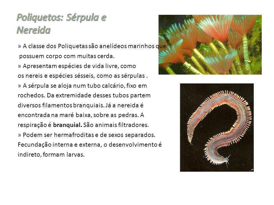 » A classe dos Poliquetas são anelídeos marinhos que possuem corpo com muitas cerda.