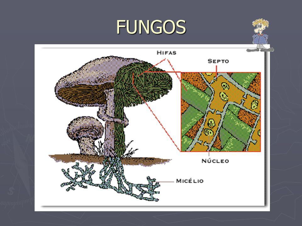 Tipicamente, o talo de um fungo consiste de filamentos ramificados em todas as direções, sobre ou dentro de substrato que exploram como alimento.