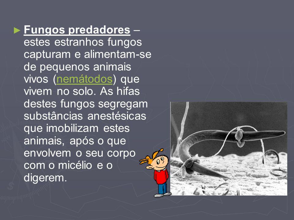 Fungos predadores – estes estranhos fungos capturam e alimentam-se de pequenos animais vivos (nemátodos) que vivem no solo. As hifas destes fungos seg