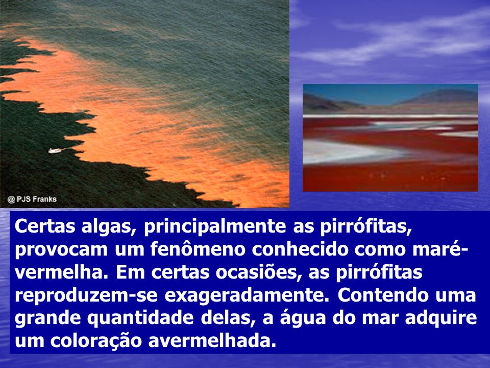 Certas algas, principalmente as pirrófitas, provocam um fenômeno conhecido como maré- vermelha. Em certas ocasiões, as pirrófitas reproduzem-se exager