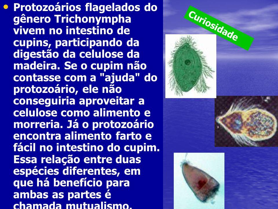 Protozoários flagelados do gênero Trichonympha vivem no intestino de cupins, participando da digestão da celulose da madeira. Se o cupim não contasse