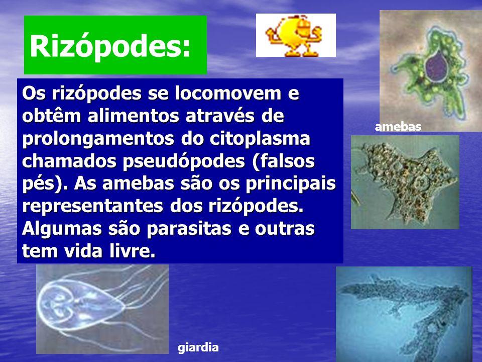 Rizópodes: Os rizópodes se locomovem e obtêm alimentos através de prolongamentos do citoplasma chamados pseudópodes (falsos pés). As amebas são os pri