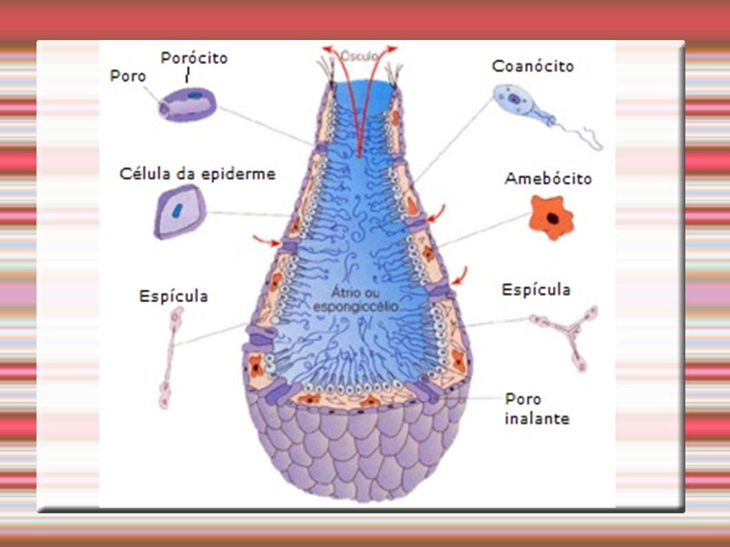 A maioria das esponjas possui simetria radial Não há formação de tecidos e nem órgãos Corpo formado por quatro tipos celulares: Pinacócitos Porócitos Amebócitos Coanócitos