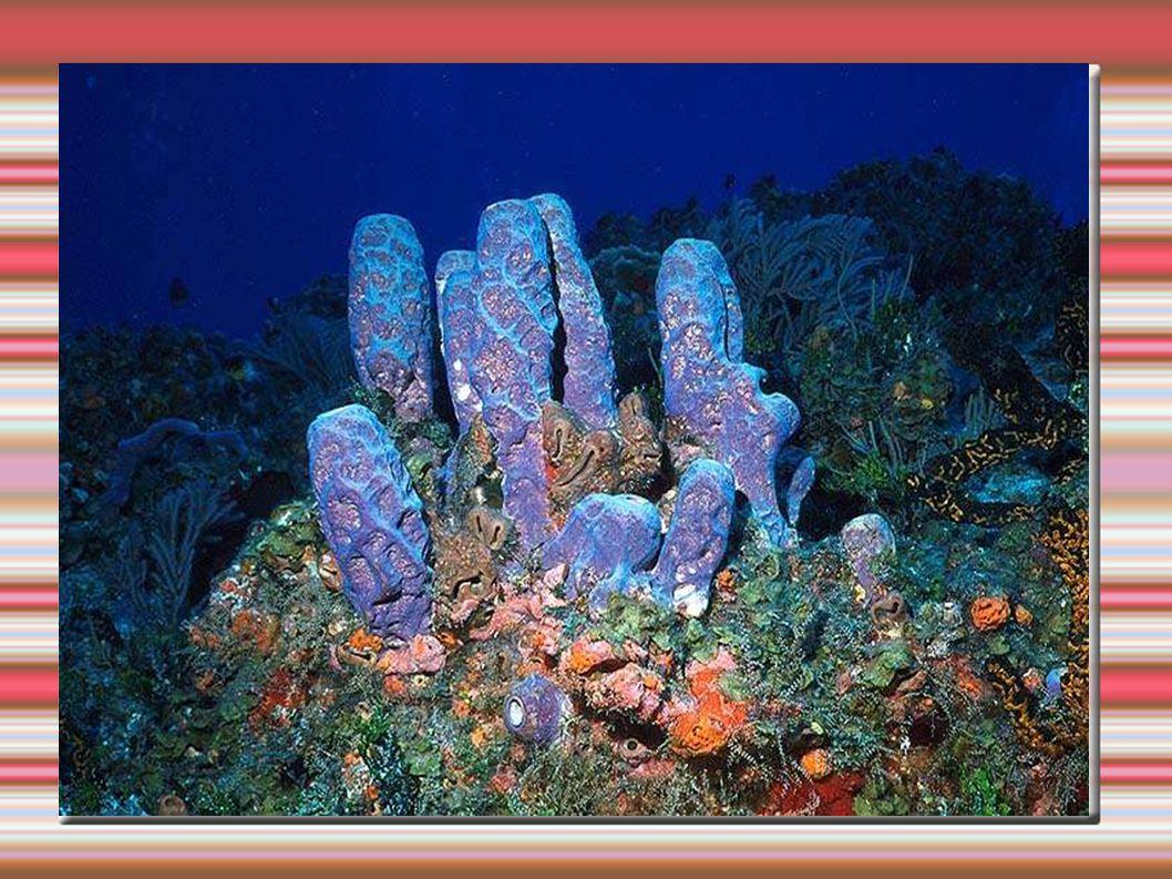 Anatomia das esponjas PINACÓCITOS revestem a cavidade externa e os canais internos PORÓCITOS formam os poros por onde penetra a água AMEBÓCITOS responsáveis pelo crescimento e regeneração COANÓCITOS possuem flagelos que fazem circular a água, os nutrientes e o gás oxigênio pelo corpo