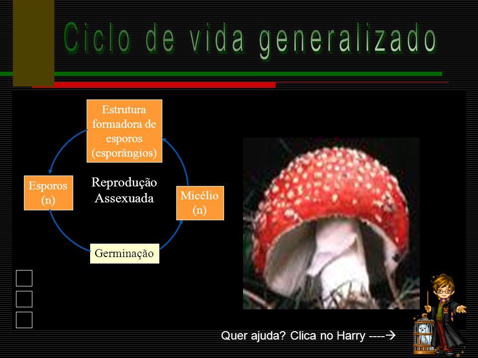 Não fazem fotossíntese Heterótrofos Não são vegetais Possuem como reserva de glicose o GLICOGÊNIO Suas células são chamadas hifas, sendo que um emaran