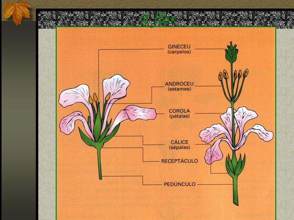 A flor é constituída por: Cálice (conjunto de sépalas) Corola (conjunto de pétalas) Androceu (conjunto de estames) Gineceu (conjunto de carpelos) Peri