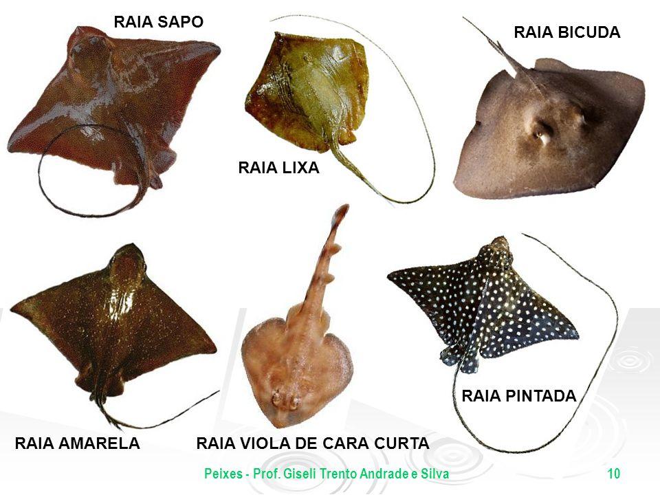 Peixes - Prof. Giseli Trento Andrade e Silva10 RAIA SAPO RAIA AMARELA RAIA BICUDA RAIA PINTADA RAIA VIOLA DE CARA CURTA RAIA LIXA