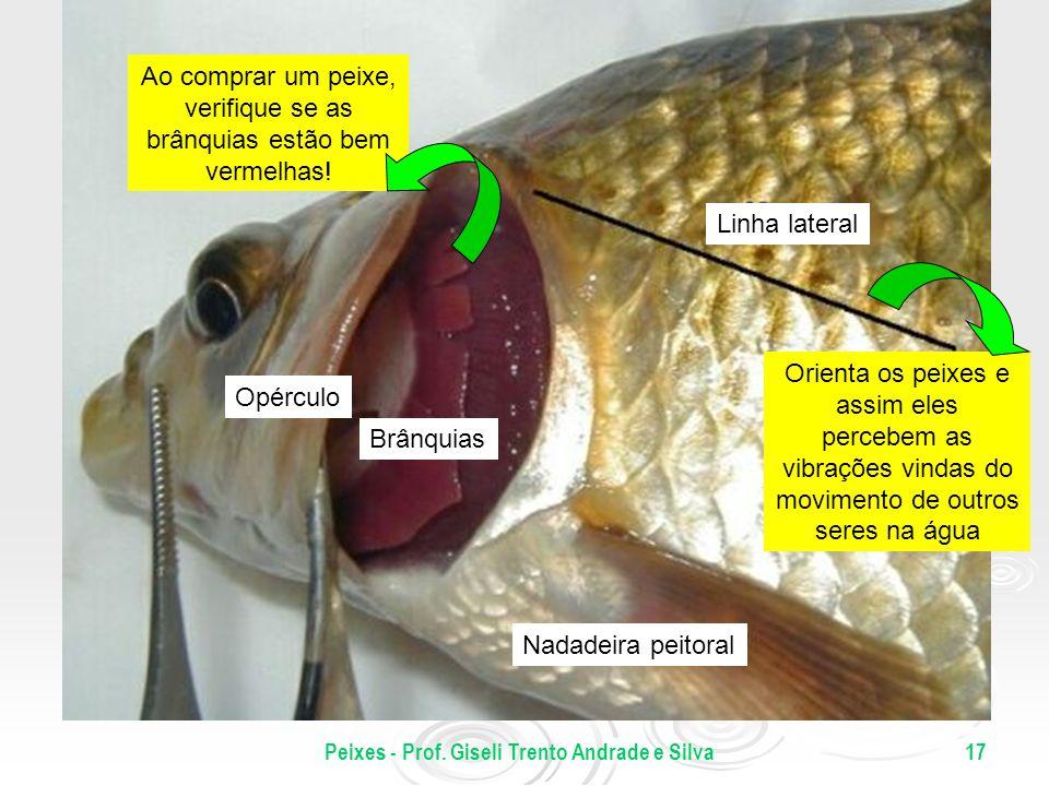 Peixes - Prof. Giseli Trento Andrade e Silva17 Opérculo Brânquias Linha lateral Nadadeira peitoral Ao comprar um peixe, verifique se as brânquias estã