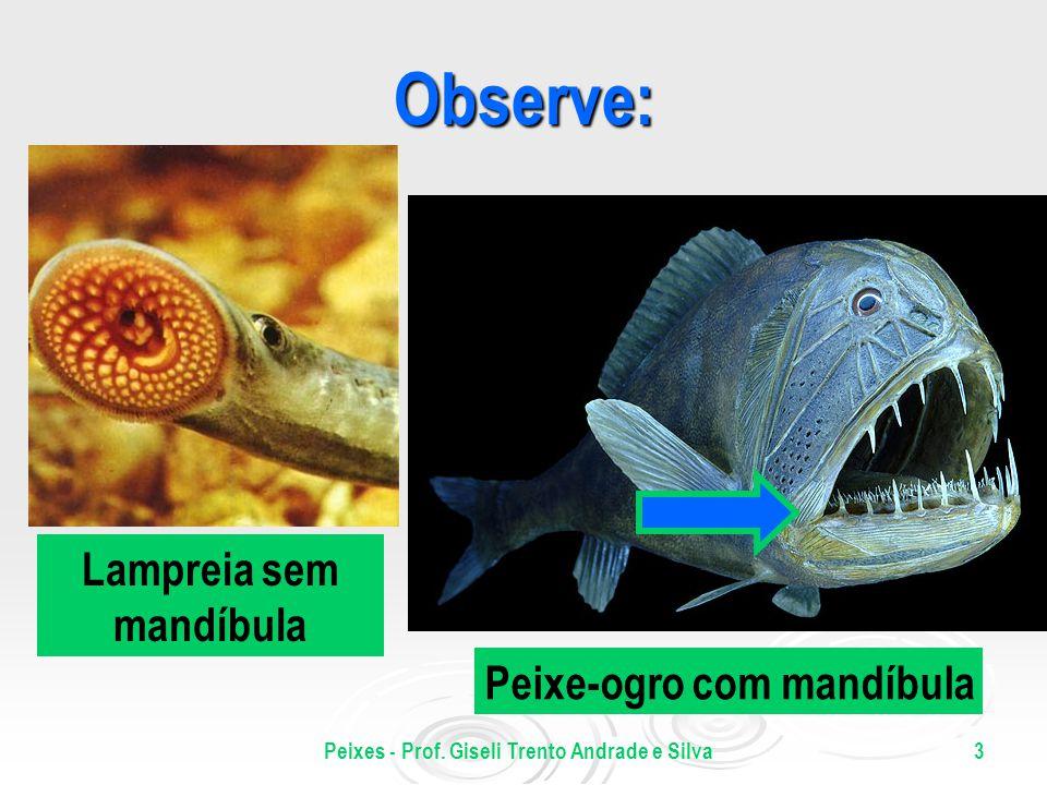 Peixes - Prof. Giseli Trento Andrade e Silva3 Observe: Peixe-ogro com mandíbula Lampreia sem mandíbula