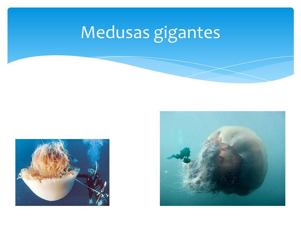 Medusas gigantes