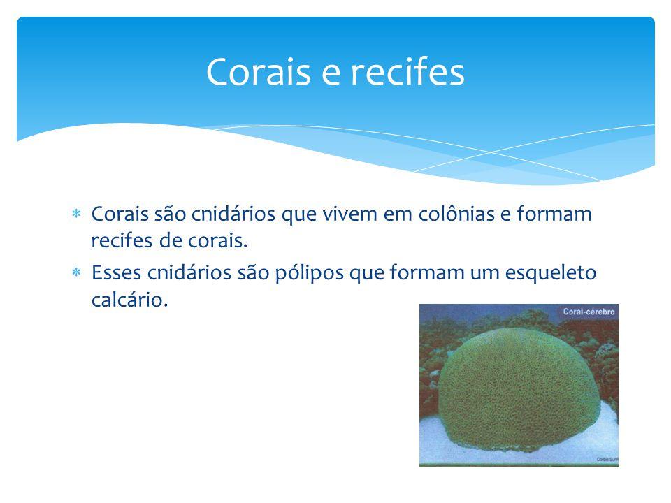 Corais são cnidários que vivem em colônias e formam recifes de corais. Esses cnidários são pólipos que formam um esqueleto calcário. Corais e recifes