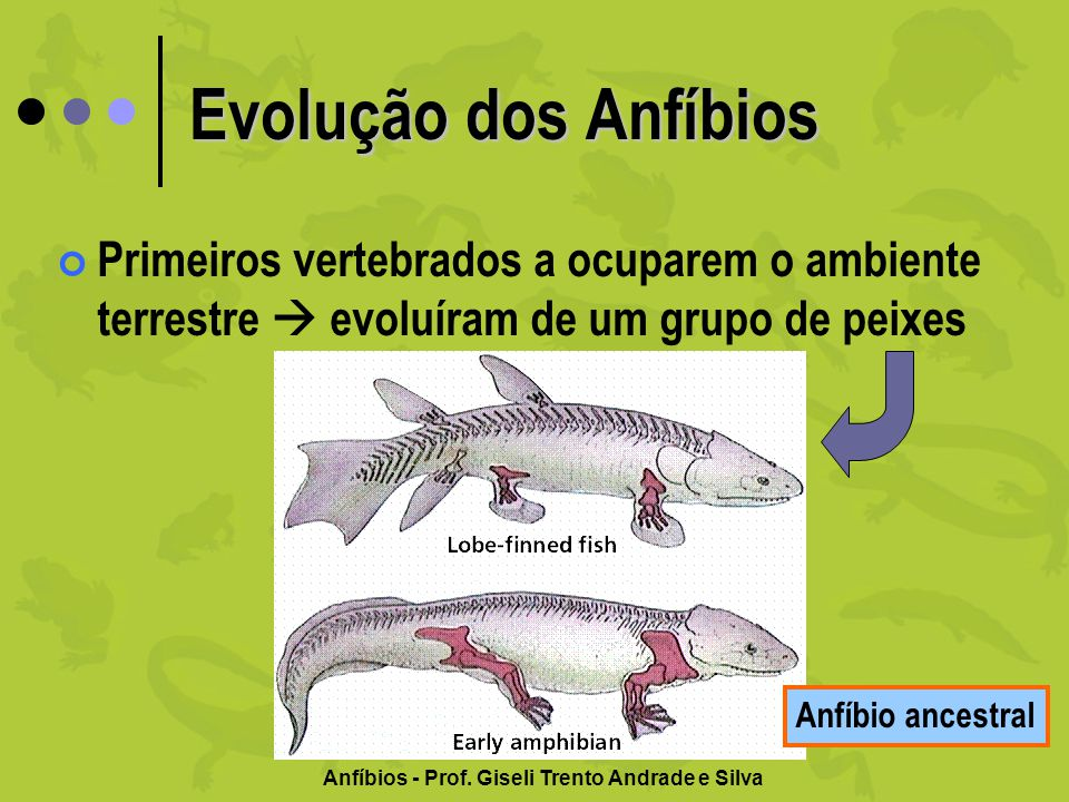 Evolução dos Anfíbios Primeiros vertebrados a ocuparem o ambiente terrestre evoluíram de um grupo de peixes Anfíbio ancestral