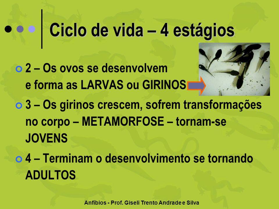 Anfíbios - Prof. Giseli Trento Andrade e Silva Ciclo de vida – 4 estágios 2 – Os ovos se desenvolvem e forma as LARVAS ou GIRINOS 3 – Os girinos cresc