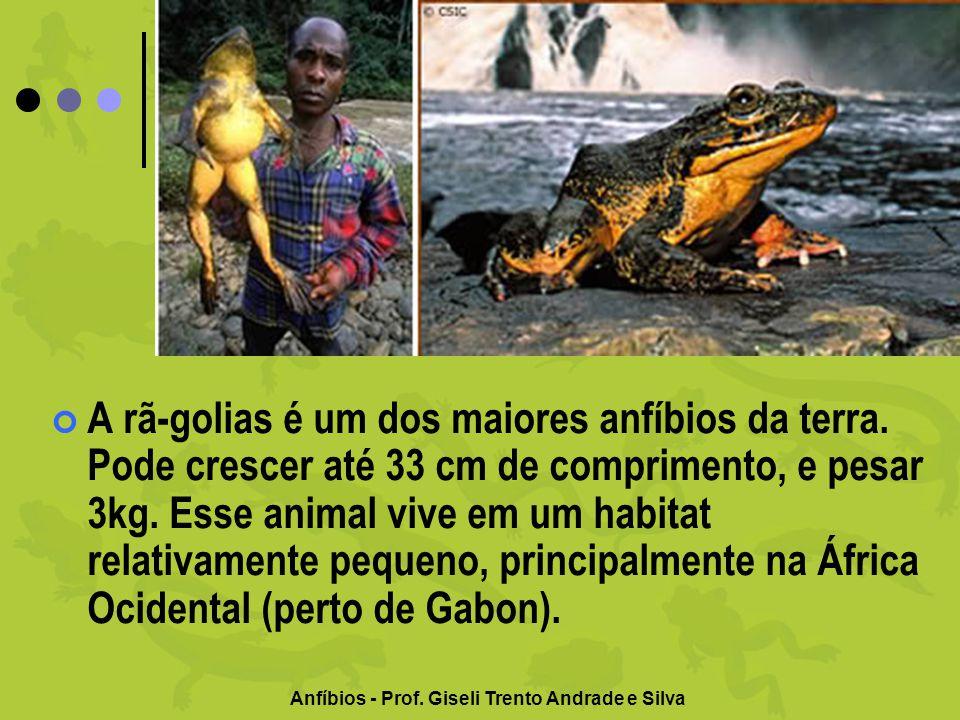Anfíbios - Prof. Giseli Trento Andrade e Silva A rã-golias é um dos maiores anfíbios da terra. Pode crescer até 33 cm de comprimento, e pesar 3kg. Ess