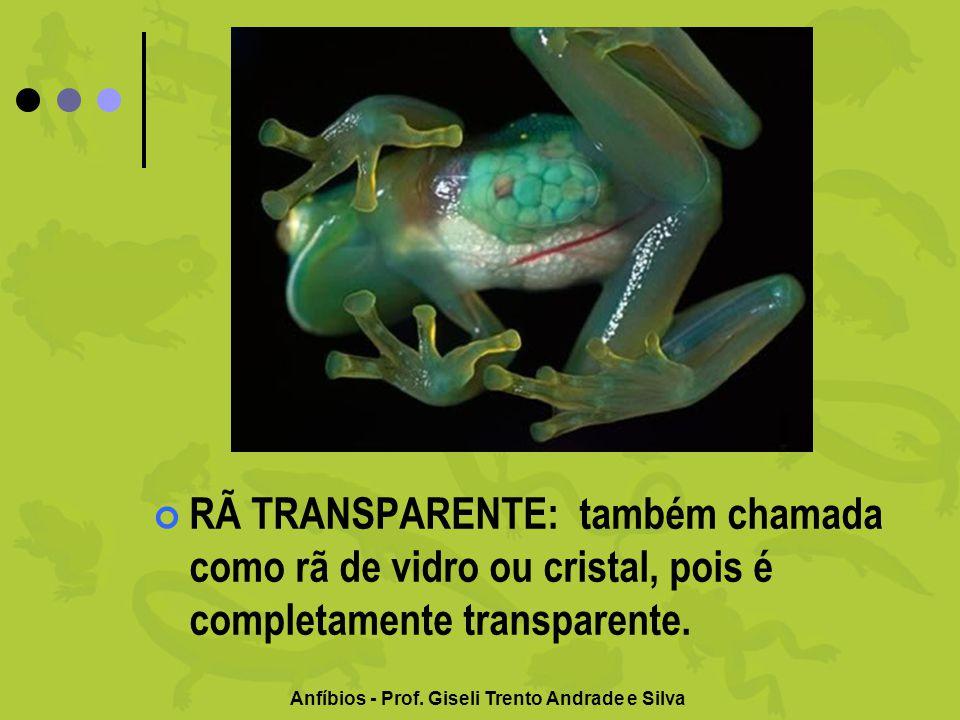 Anfíbios - Prof. Giseli Trento Andrade e Silva RÃ TRANSPARENTE: também chamada como rã de vidro ou cristal, pois é completamente transparente.