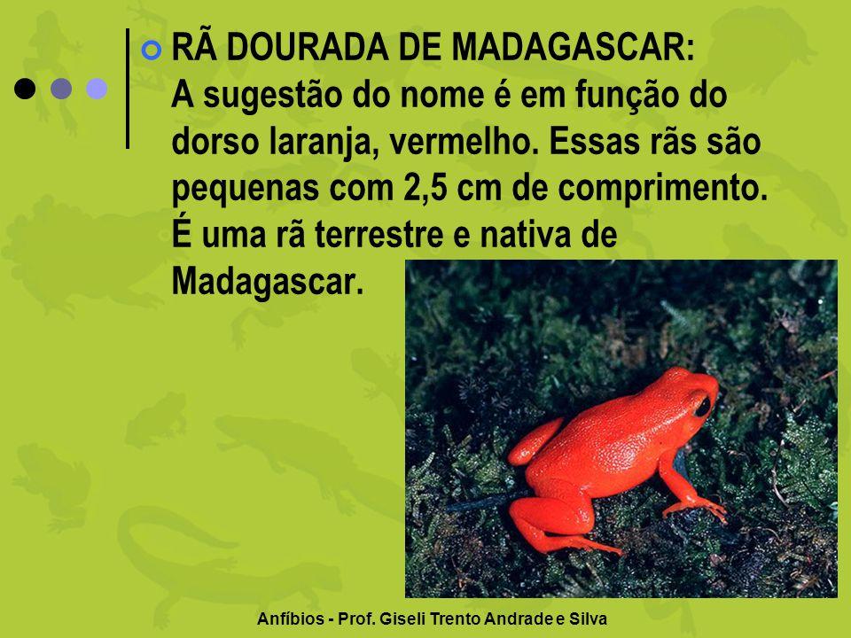 Anfíbios - Prof. Giseli Trento Andrade e Silva RÃ DOURADA DE MADAGASCAR: A sugestão do nome é em função do dorso laranja, vermelho. Essas rãs são pequ
