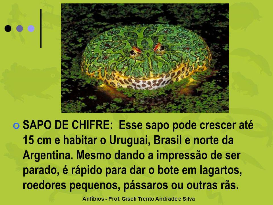Anfíbios - Prof. Giseli Trento Andrade e Silva SAPO DE CHIFRE: Esse sapo pode crescer até 15 cm e habitar o Uruguai, Brasil e norte da Argentina. Mesm
