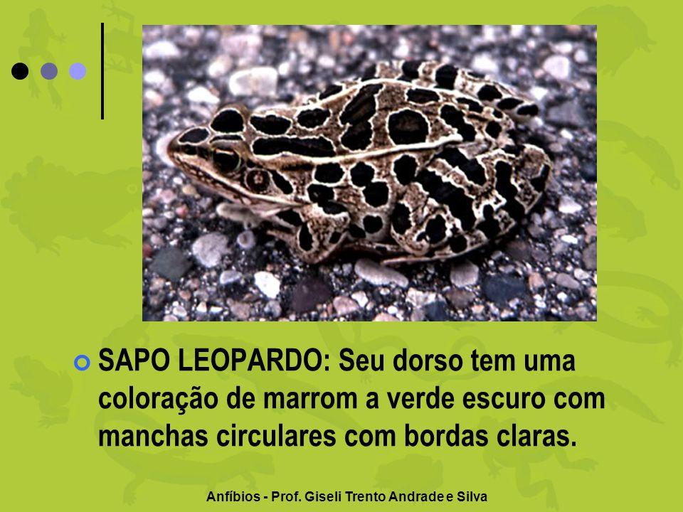 Anfíbios - Prof. Giseli Trento Andrade e Silva SAPO LEOPARDO: Seu dorso tem uma coloração de marrom a verde escuro com manchas circulares com bordas c