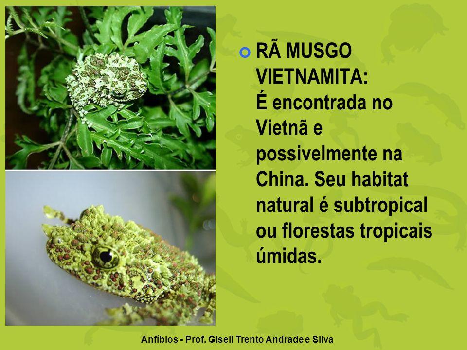 Anfíbios - Prof. Giseli Trento Andrade e Silva RÃ MUSGO VIETNAMITA: É encontrada no Vietnã e possivelmente na China. Seu habitat natural é subtropical