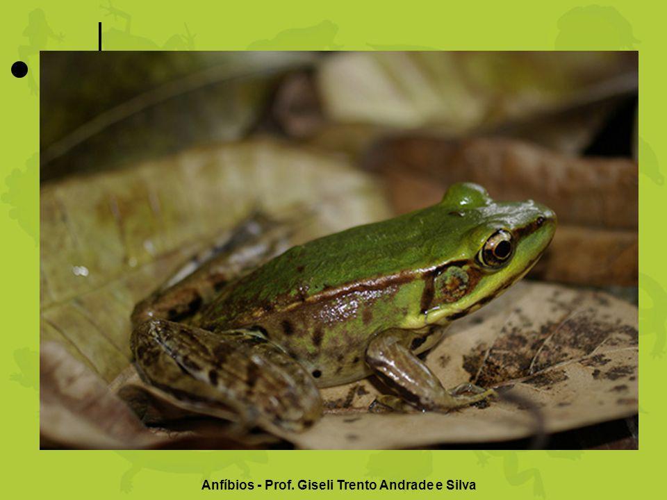 Rã Hábitat: mora principalmente em lagoas Tamanho: de 9,8 milímetros a 30 centímetros Número de espécies: mais de 4 mil Características: é considerada um prato sofisticado em muitos países.