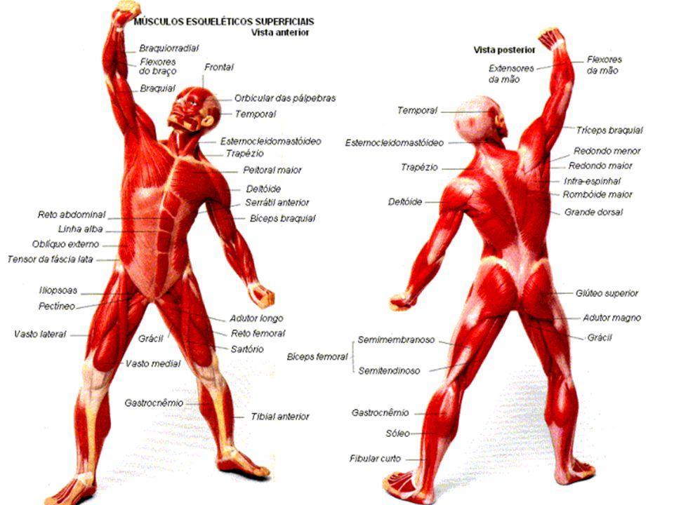 SISTEMA MUSCULAR Como é produzido o movimento ? Todas as fibras musculares possuem as mesmas capacidades funcionais? Que fatores participam da fadiga