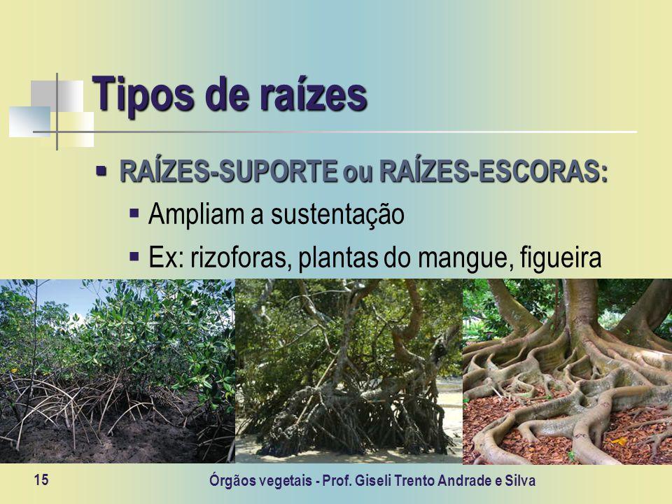 Órgãos vegetais - Prof. Giseli Trento Andrade e Silva 15 Tipos de raízes RAÍZES-SUPORTE ou RAÍZES-ESCORAS: RAÍZES-SUPORTE ou RAÍZES-ESCORAS: Ampliam a