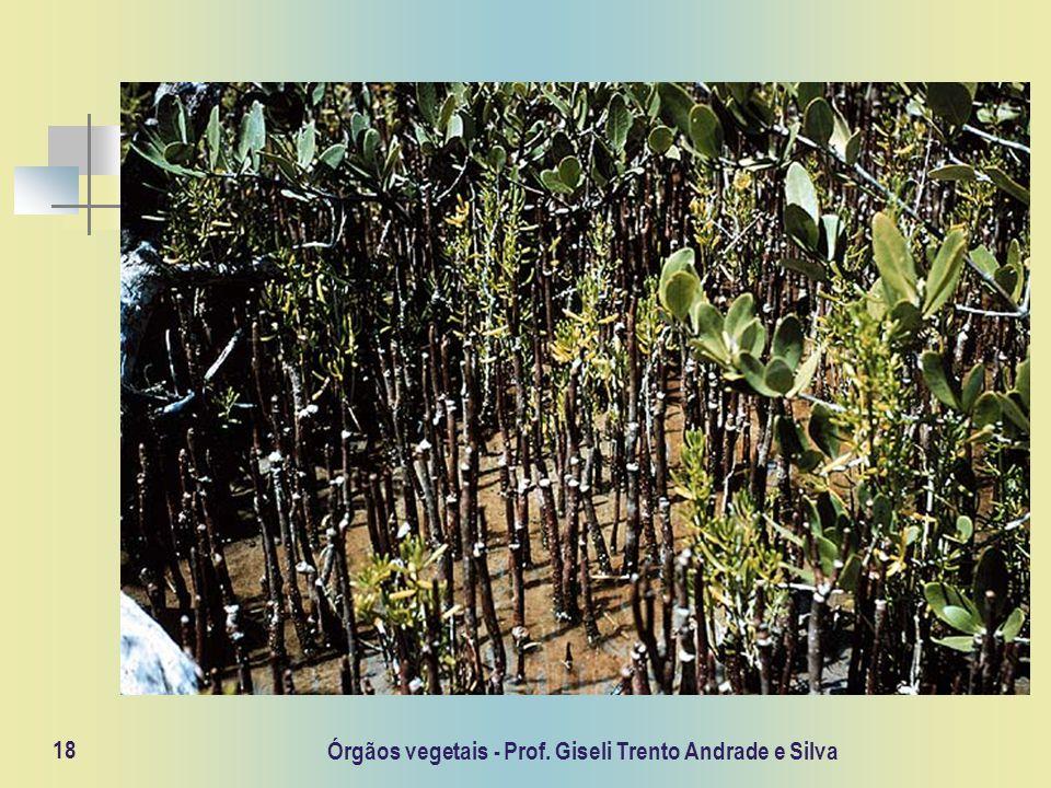 Órgãos vegetais - Prof. Giseli Trento Andrade e Silva 18