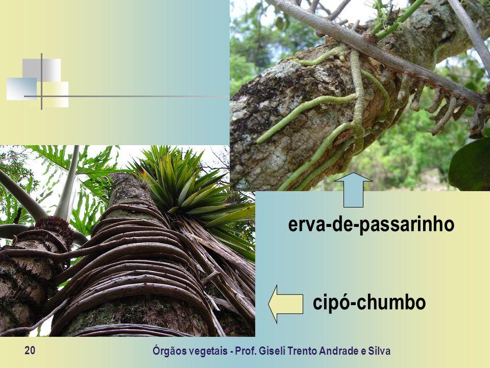 Órgãos vegetais - Prof. Giseli Trento Andrade e Silva 20 erva-de-passarinho cipó-chumbo