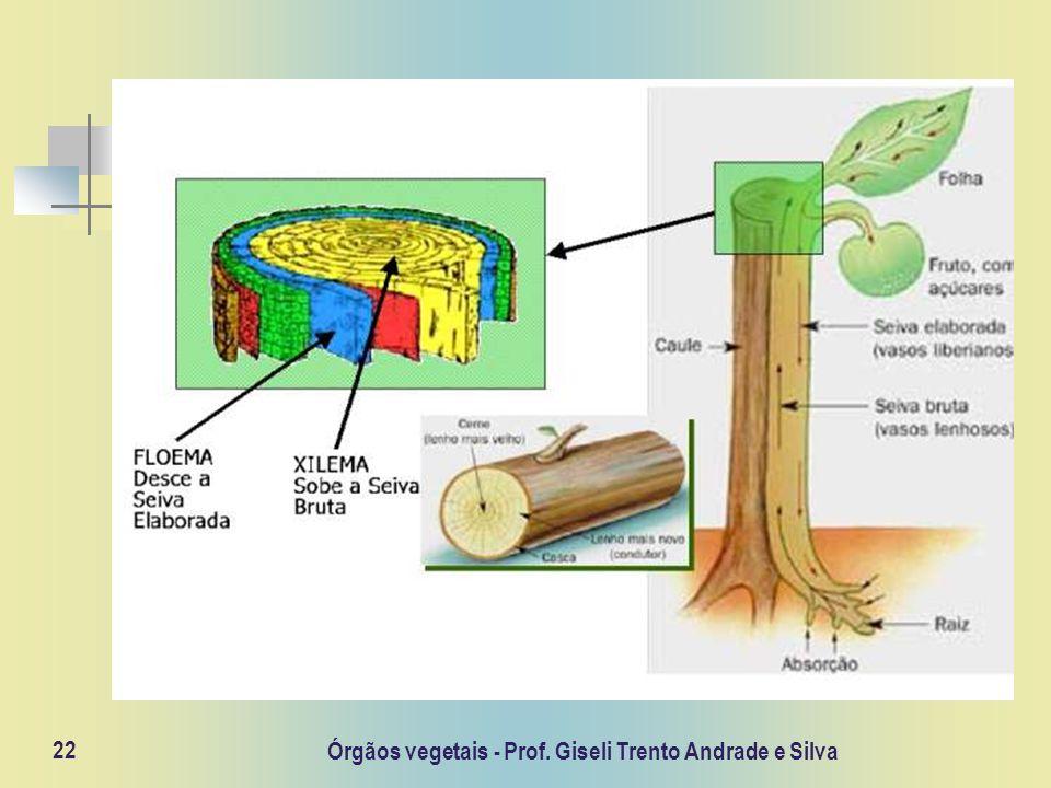 Órgãos vegetais - Prof. Giseli Trento Andrade e Silva 22