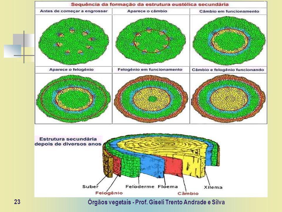 Órgãos vegetais - Prof. Giseli Trento Andrade e Silva 23