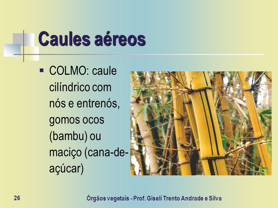 Órgãos vegetais - Prof. Giseli Trento Andrade e Silva 26 Caules aéreos COLMO: caule cilíndrico com nós e entrenós, gomos ocos (bambu) ou maciço (cana-