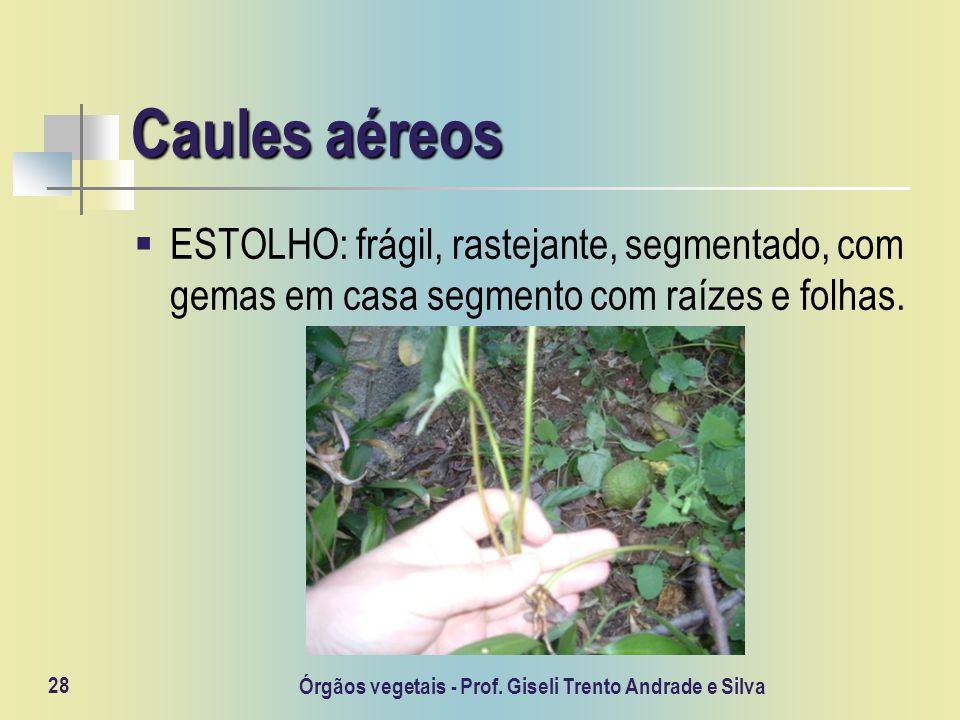 Órgãos vegetais - Prof. Giseli Trento Andrade e Silva 28 Caules aéreos ESTOLHO: frágil, rastejante, segmentado, com gemas em casa segmento com raízes