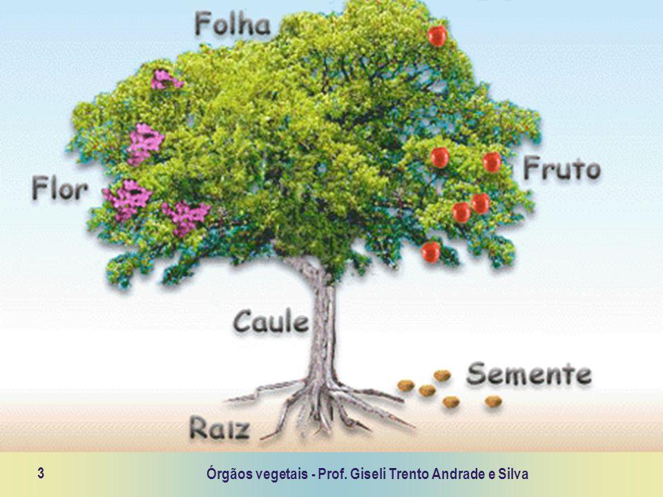Órgãos vegetais - Prof. Giseli Trento Andrade e Silva 3